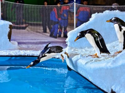 Swim with penguins in Dubai