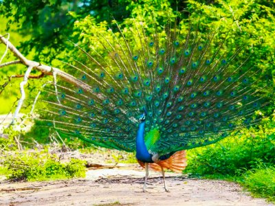 See a peacock in Kataragama