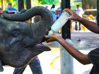 Feed a baby elephant in Kandy