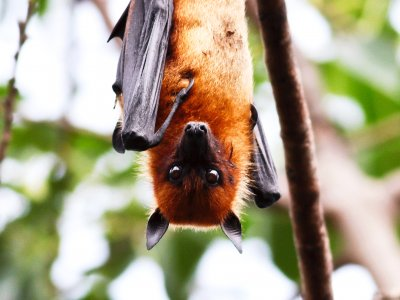 Feed flying foxes in Kandy