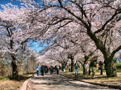 See sakura blossoms in High Park in Toronto