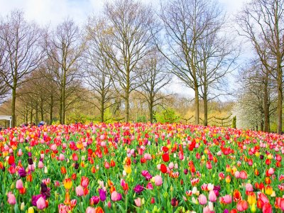 See the flowering of tulips in Keukenhof Park in Amsterdam