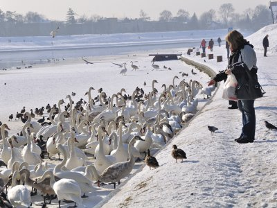 Feed swans on the bank of the Vistula in Krakow