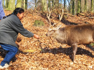 Feed deer of the Danish king in Copenhagen