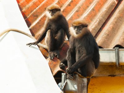 See purple-faced langurs in Galle
