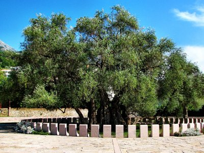See 2000-year-old olive tree in Bar