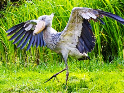 See a shoebill in Tokyo