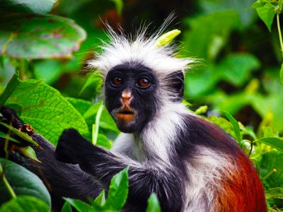 See red colobus monkey on Zanzibar