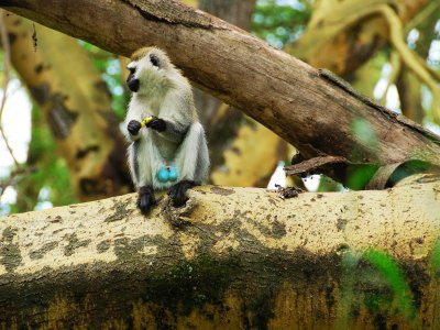 See blue-balled monkeys in Arusha