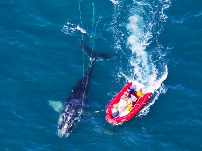 Watch right whales in Maldonado