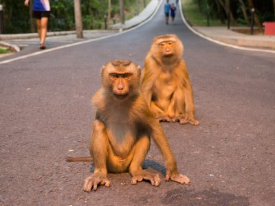 Feed wild monkeys in Phuket