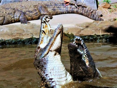 See crocodile feeding in Port Louis
