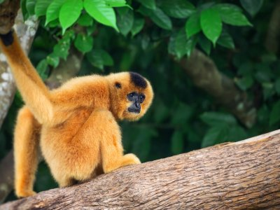 Look After Gibbons in Phuket
