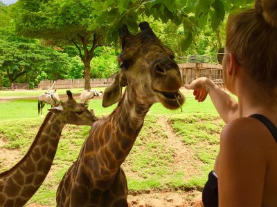 Feed a Giraffe in Pattaya