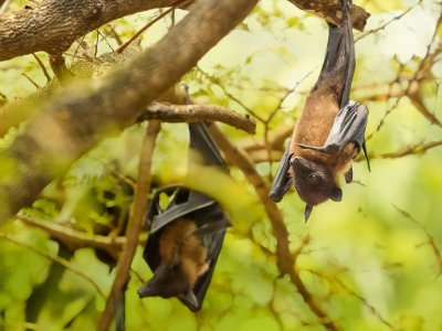Feed the Megabat in Phuket
