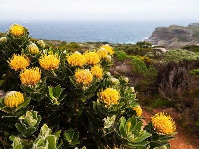 Find protea – the symbol of the RSA in Cape Town