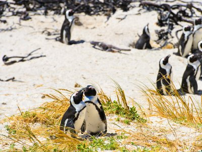 Meet penguins in Cape Town