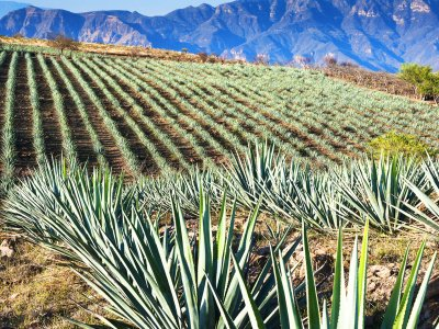 Find out how they produce tequila in Guadalajara