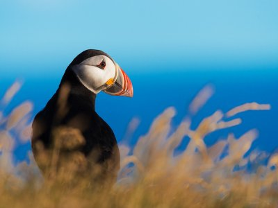 See Atlantic puffins in their habitat in Reykjavik