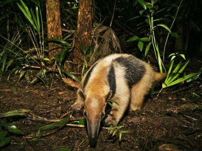 See a tamandua in Cancun