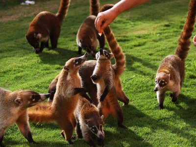 Feed coatis in Cancun
