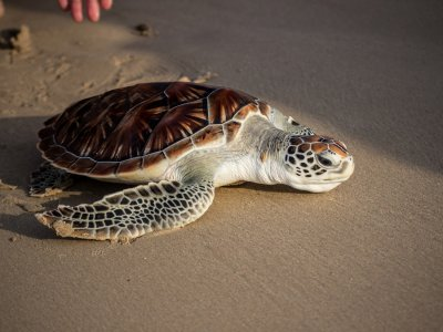 Watch the birth of the sea turtles in Phuket