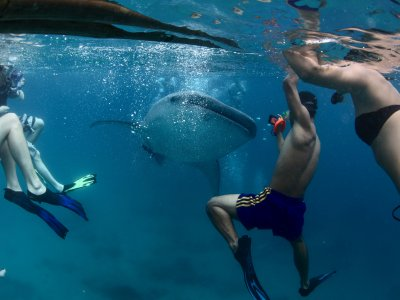 Snorkel with whale sharks in Ari Atoll