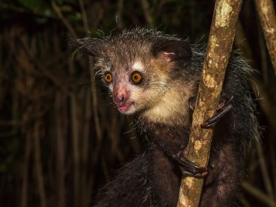 See the aye-aye in Antananarivo