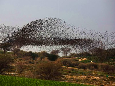 See starlings murmuration in Beersheba