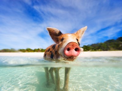 Swim with pigs in George Town