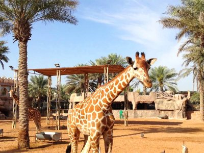 Feed giraffes in Abu Dhabi