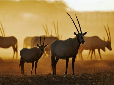 Take safari on Sir Bani Yas in Abu Dhabi