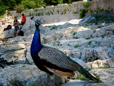 Feed peacocks near the Dead Sea pond in Dubrovnik