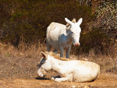 See albino donkeys on Sardinia