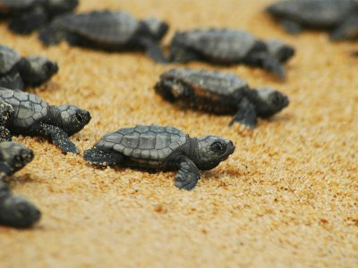 See the birth of turtles Caretta-Caretta on Crete