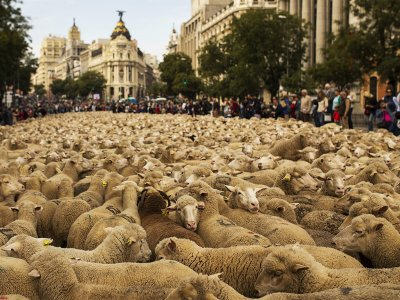 See the procession of sheep through the city in Madrid