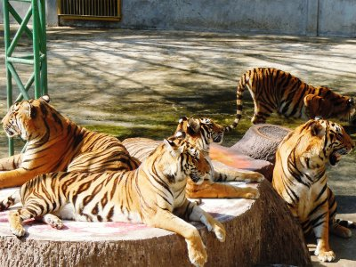 Sriracha Tiger Zoo in Pattaya